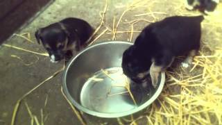 puppies on straw