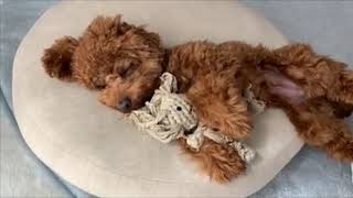Sleepy Cute Puppies | Funny Puppies in the World | Cute Dogs Clips 2019