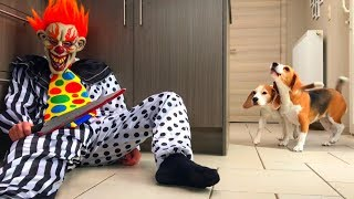 Dogs Pranked by IT Clown : Funny Dogs Louie & Marie