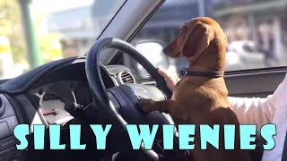 Silly wiener dogs COMPILATION – cute and funny dachshund videos