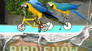 Cute Birds Racing the Bike |  Birds show at the Zoo