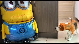 Funny Dogs Vs Giant MINION BOb Balloon! : Louie The Beagle
