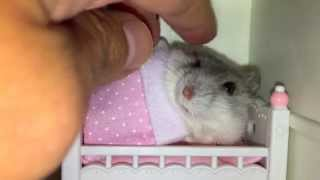 Hamster loves getting tucked in bed (Cute animal video!)