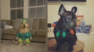 Funny Dogs Christmas – Funny Dog Videos Compilation