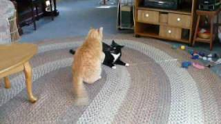 Two Cute Cats Playing Rough