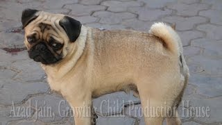 Cute Dog Pug licking trespassers foot. pug puppy, pug dog kutta. pug barking. vodafone pug