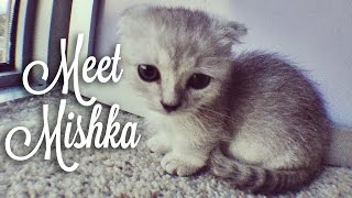 Picking up Mishka! Cute Scottishfold Munchkin Kitten