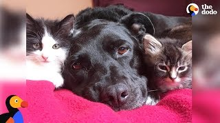 Pit Bull Who Misses Her Cat Falls In Love With Foster Kittens – ZUCA | The Dodo