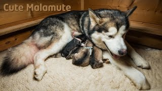 Alaskan Malamute giving birth to six puppies