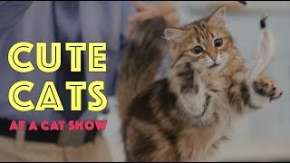 Cute Cats at a Cat Show | TICA Cat Show