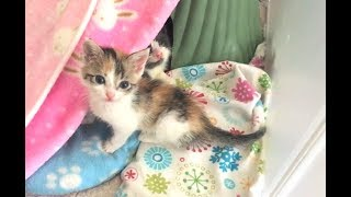 Crazy Calico Kitten Is Always Escaping And Running – Easter Kittens