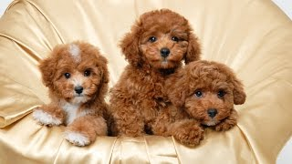 Top 10 Teacup Dogs(Cute Dogs) – Small Dogs
