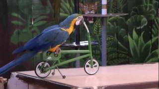 Funny parrot show…