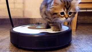 Cute Kittens Cleans The Kitchen on a Roomba