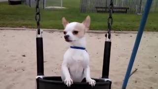Cute Dogs in Swings Compilation Dog in Swing Dog on Swing 2016