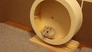 Cute and Funny Hamsters Videos 2019 🐹 DienMsm #42