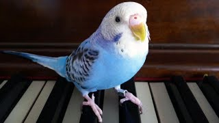 Funny Parrots Dance, Sing and Imitate Sounds – Funny Birds Meow, Bark, Cry, Phone & Car Alarm Videos