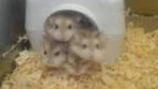 Funny hamsters – funny hamster video ! Part 4