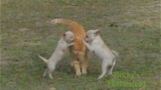 Two Puppies vs One Cat: Who Will Win!