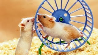 Funny two cute Hamsters try to run on one wheel