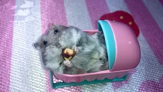 Can hamsters eat pistachios? – Cute and funny hamster in a baby cot