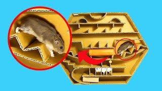 Three Hamsters Running Again On Pentagon Maze 2- DIY Hamster