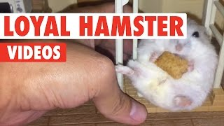 Loyal Hamsters Video Compilation 2017