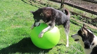 Dog Gets Yoga Ball – Funny dogs