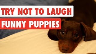 Try Not To Laugh | Funny Puppies Video Compilation 2017