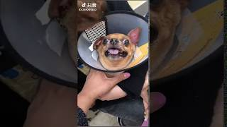 Funny Dog Injection videos –  Dog Injection Funny Compilation