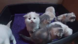 Kitten videos: 7 kittens day 28 – 4 week old kitten