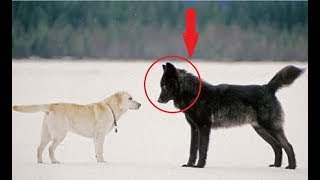 Black German Shepherd Dog Meeting With Wolf  | Cute Dogs