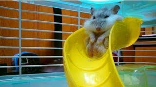 Cute Hamster Goes Down Slide
