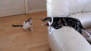 2 cute cats fighting