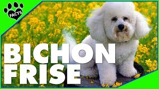 Dogs 101: 10 Bichon Frise Facts Cutest Dog Breed  – Animal Facts