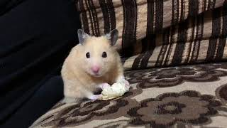 Cute and Funny Hamsters Videos 2019 🐹 DienMsm #10