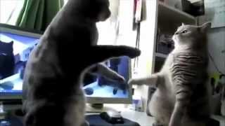 Really Cute Cats Play Pattycake
