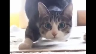 Funny Cats Vine Compilation September 2015