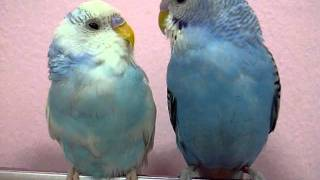 Cute Blue Budgie Birds