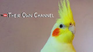 Jade, mi ninfa Lutina/ My beautiful Cockatiel/ Cute birds/ La mejor!/ TheirOwnChannel