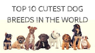 Cute Dogs: Top 10 Cutest Dog Breeds (Puppies) Compilation [HD]