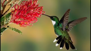Cute Humming Bird Feeding On  Aloe Vera Flowers