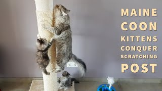 Maine Coon kittens conquer a large scratching post