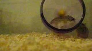 Robo-Go-Round Dwarf Hamsters running in wheel