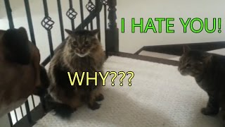 Two poor cats are in trouble because of the dog – Funny cats talking