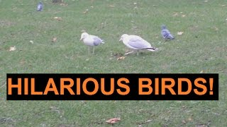 Very funny birds massaging the earth!