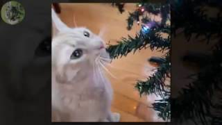 FUNNY CATS VIDEOS  CUTE CATS LOVE CHRISTMAS