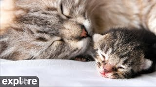 Kitten Rescue – Baby Kittens Cam powered by EXPLORE.org