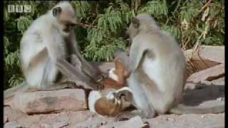 Monkeys play with cute puppy – Monkey Warriors – BBC animals