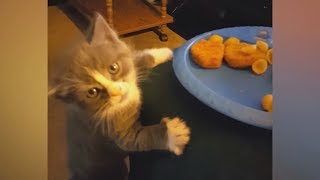 You'd never imagine how FUNNY CATS can be! – Biggest LAUGH of your LIFE!